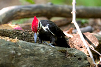 Pileated Woodpecker (northern subspecies)